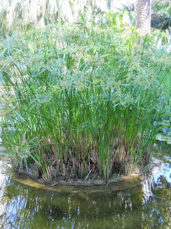 Cyperus alternifolius v 2