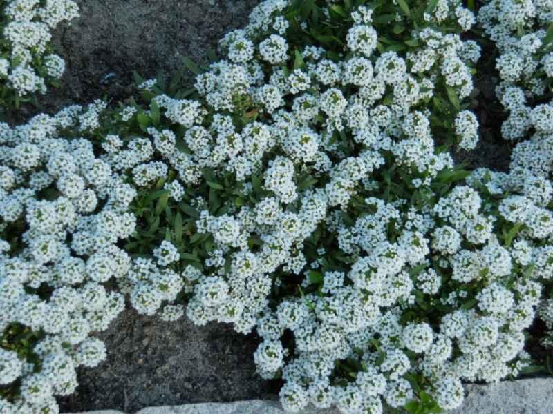 Alysum maritimum blanco 5