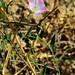 Flickr photo 'Convolvulus arvensis L. /  Correhuela.' by: chemazgz.