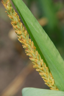 Maize tassel with anthers emerging | by CIMMYT