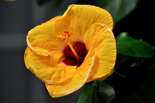 Chinese Hibiscus | by likeaduck
