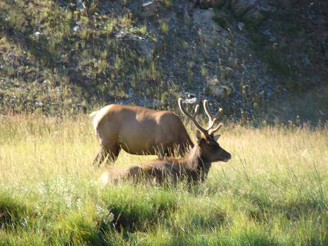 Elk - Yellowstone National Park, Wyoming