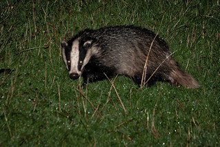 Bothering Badgers Again | by In Memoriam: me'nthedogs