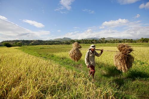 field farm unitednations farmer agriculture unphoto timorleste manatuto