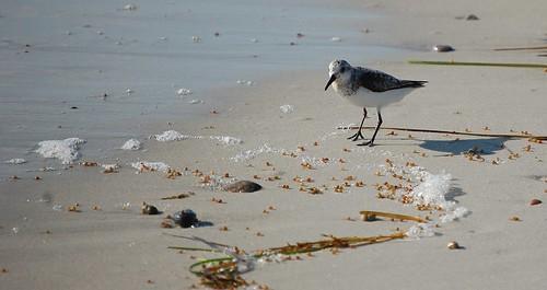 ocean bird beach capecod massachusetts shoreline atlanticocean shorebird buzzardsbay westfalmouth edbrodzinsky