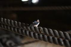 bird on a rope on the Batavia