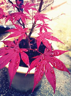 Red Japanese Maple Plant | by hotelproductions