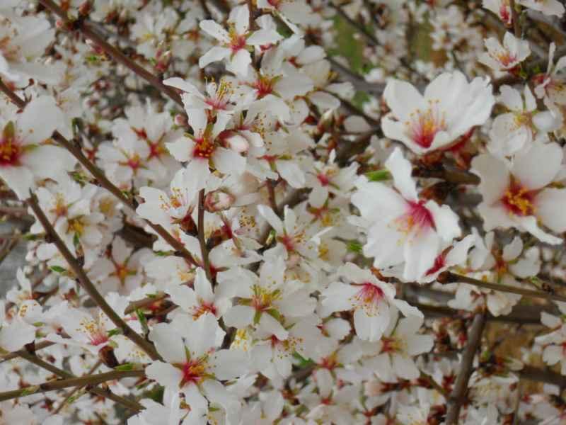 Prunus dulcis 3