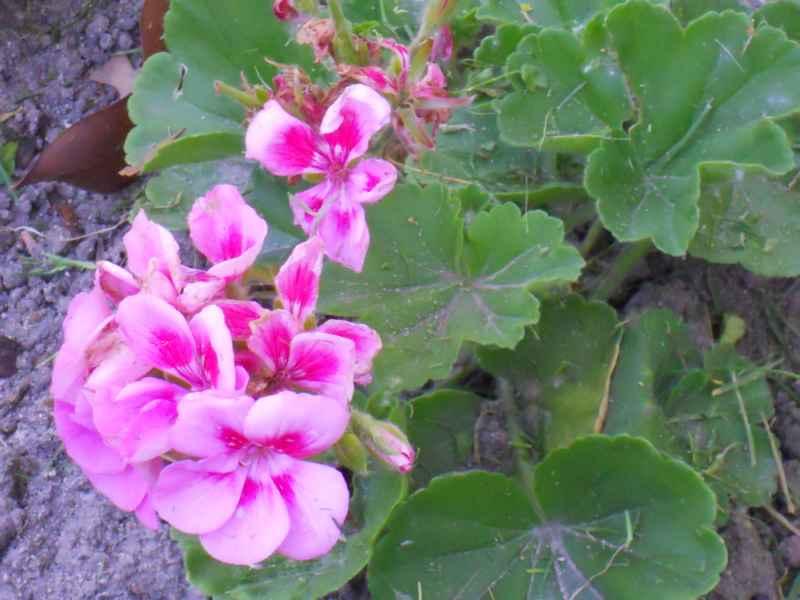 Pelargonium peltatum rosa 1