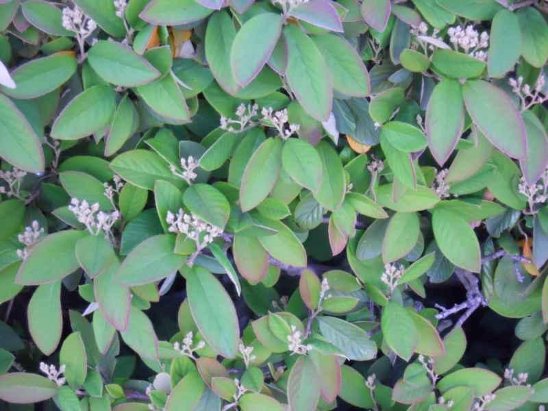 Cotoneaster franchetii.. detalle 4