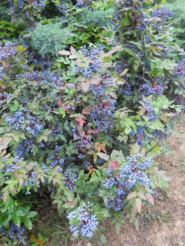 Mahonia japonica v 2