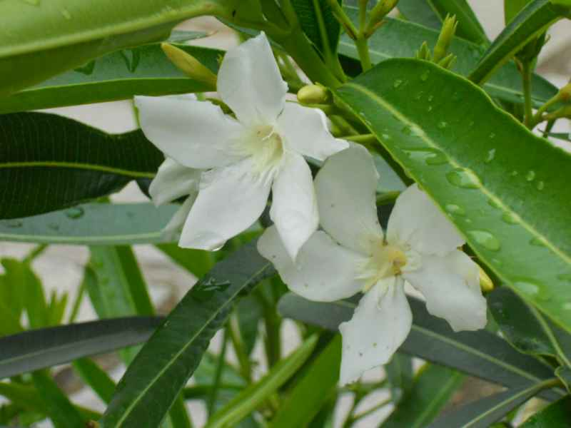 Nerium oleander 'Album Maximum' detalle 3