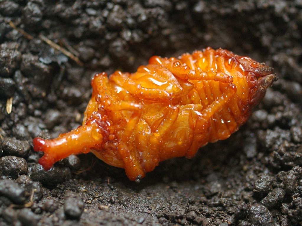 「カブトムシの幼虫」の画像検索結果