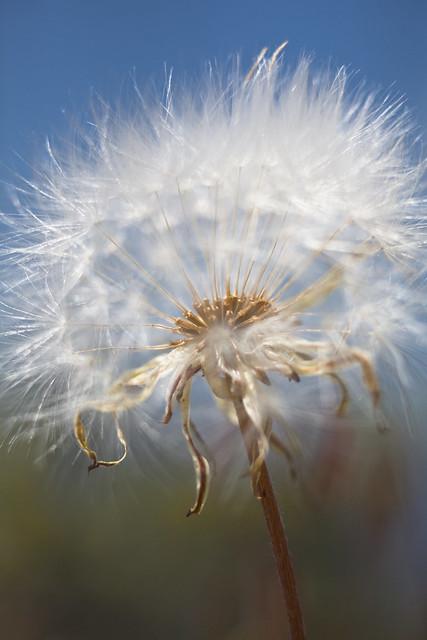 Wind Disperal of Seeds