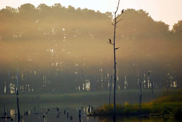 Two Osprey and a Great Blue Heron enjoy a Foggy Sunrise