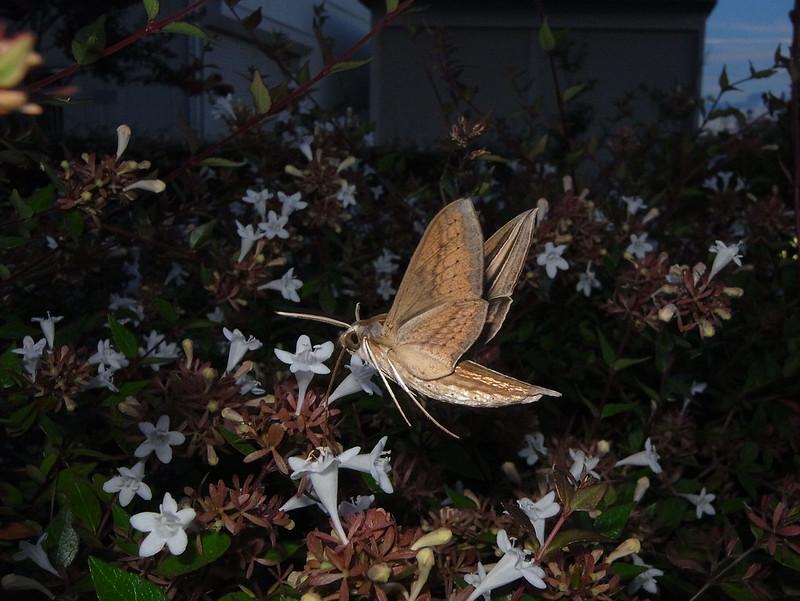 Theretra oldenlandiae