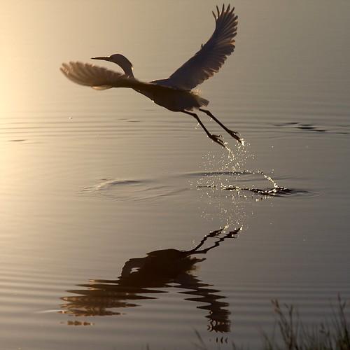 bird water ripple wildlife massachusetts flight wing explore marsh waterfowl egret wetland bif plumisland jury smörgåsbord explored platinumphoto
