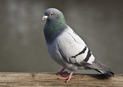 Rock Pigeon - Photo (c) Kentish Plumber, some rights reserved (CC BY-NC-ND)