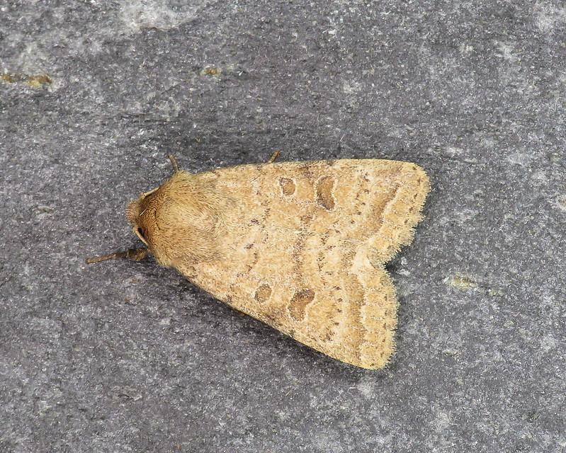 73.097 Rustic - Hoplodrina blanda