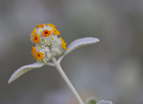 orange white flower whiteplant woollybutterflybush springspreservelasvegasnv buddlieamarrubifolia