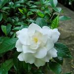 くちなし Gardenia