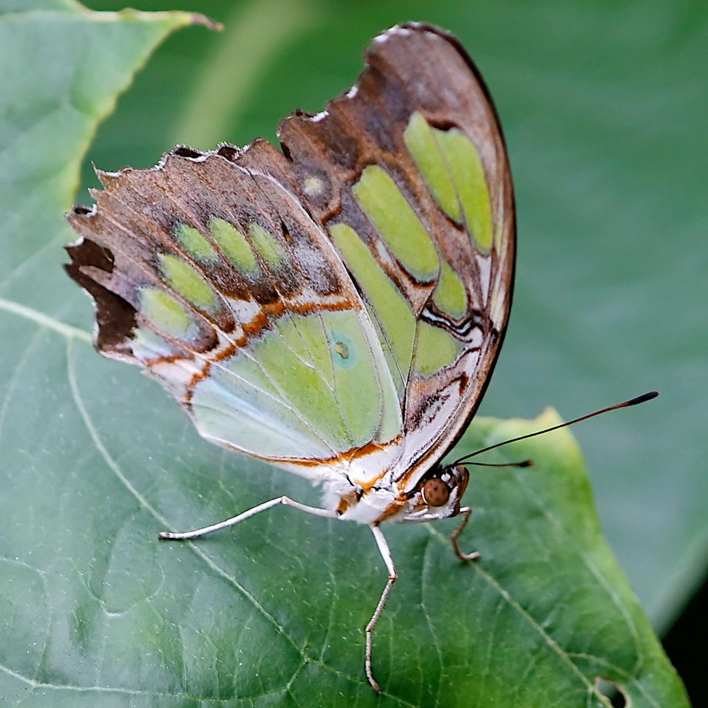 Green butterfly - canon t2i