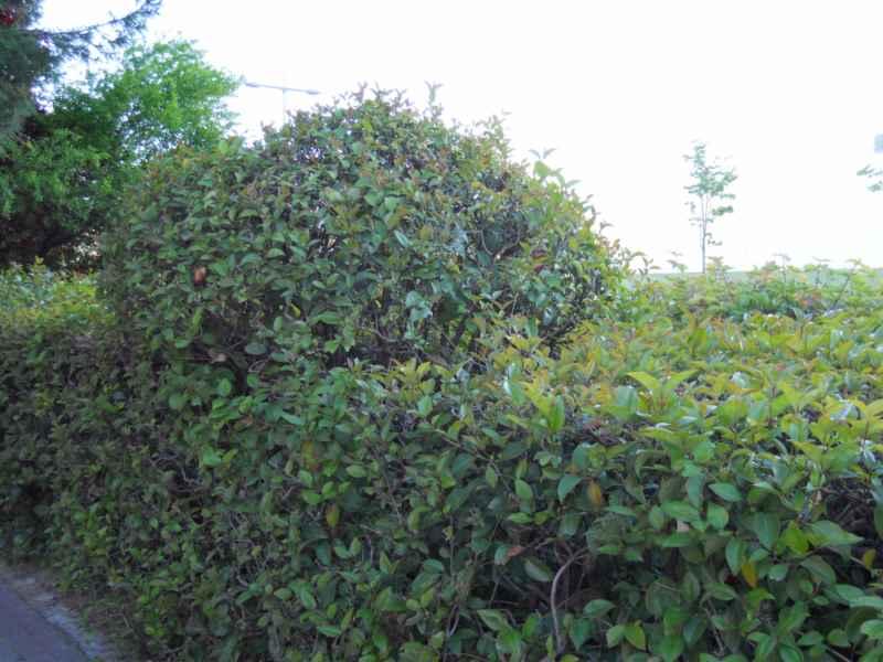 Ligustrum japonicum seto topiaria 3