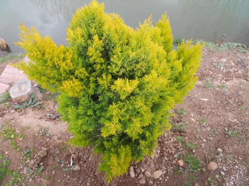 Thuja occidentalis 'Rheingold' 3