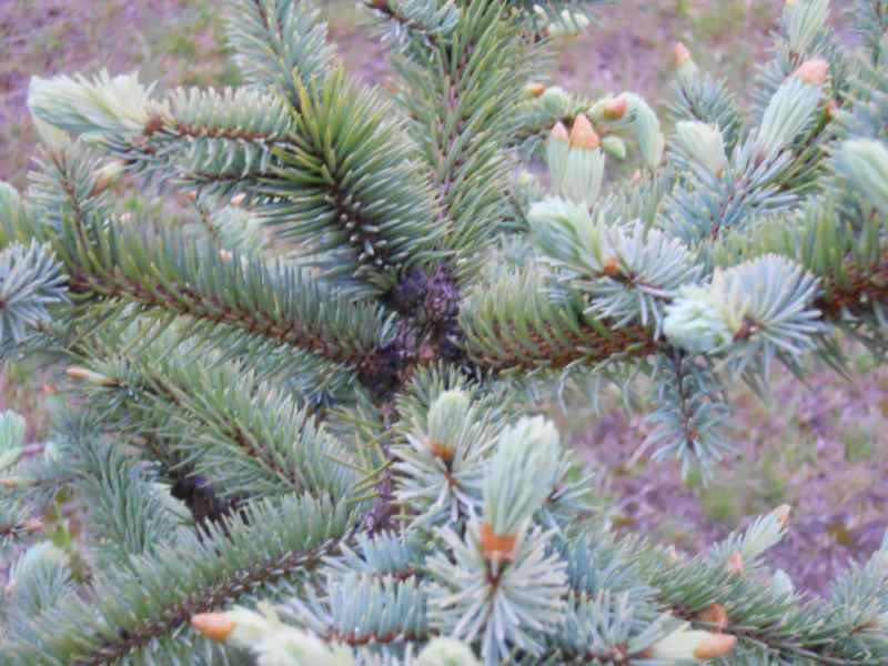 Abies procera 'Glauca' hojas 4