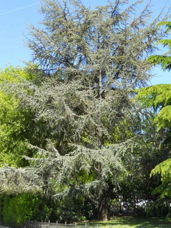 Cedrus atlántica árbol 1