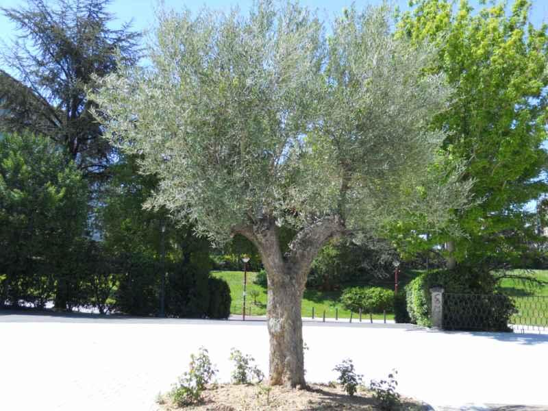 Olea europaea árbol 3