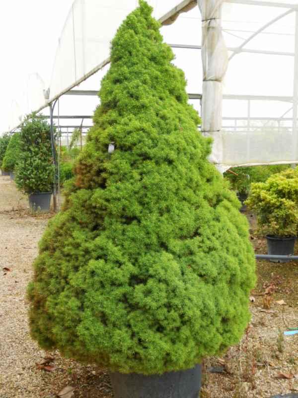 Picea glauca 'Conica' v 1