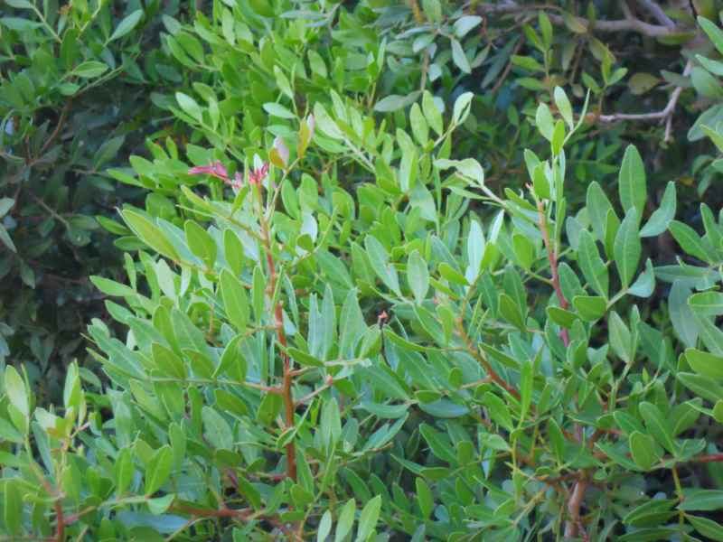 Pistacia lentiscus 2