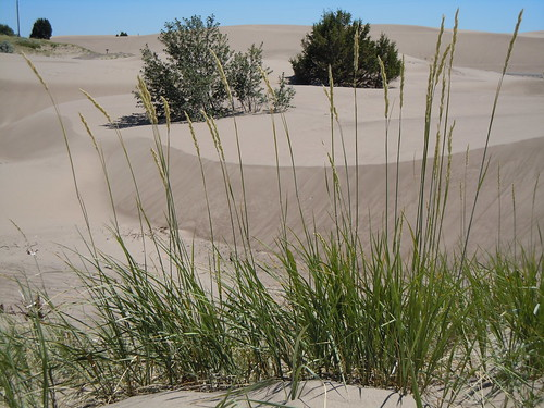 grass habit habitat poaceae perennial wheatgrass inflorescence rhizomatous triticeae coolseason elymusflavescens yellowwildrye leymusflavescens