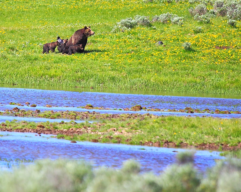 hayden valley yellowstone map Img 9279 Grizzly Bear Mother With Three Cubs Hayden Valle Flickr hayden valley yellowstone map