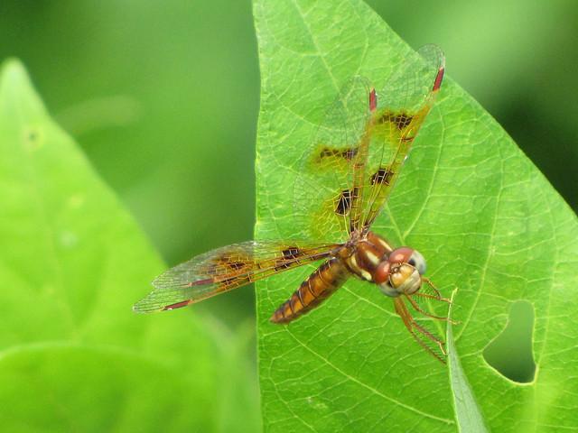 Eastern Amberwing Female