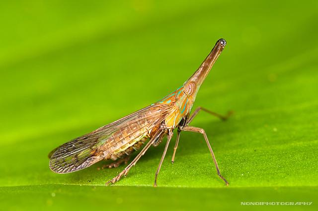 dictyopharidae planthopper