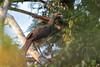 West Mexican Chachalaca (Ortalis poliocephala) by Hector Cayetano Rosas
