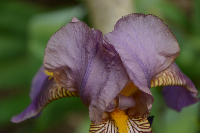 Floraisons 2016 de nos grands iris barbus et Bilan 31726123804_6f2c028893_z