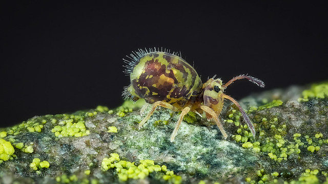 Dicyrtomina ornata (Kugelspringer) Collembola (Explored)