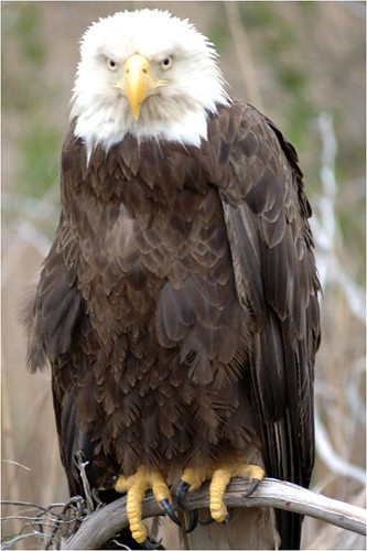Bald Eagle | by U. S. Fish and Wildlife Service - Northeast Region