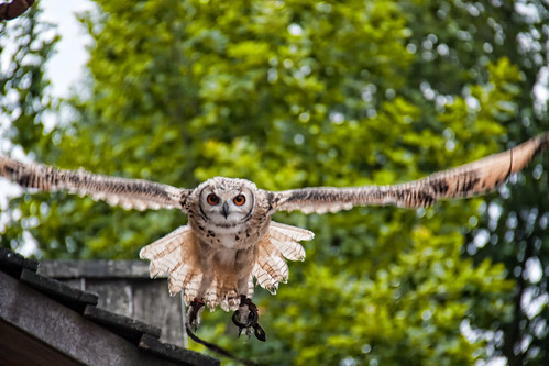 flying owl in Archeon   by hans s