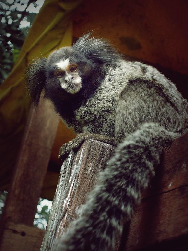 Saguis (Marmosets) | Os Sagüis são pequeninos macacos, mas q… | Flickr