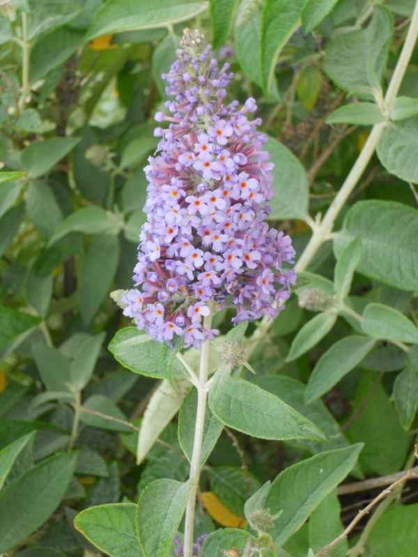Buddleja davidii 'Fastinating' flor v 1