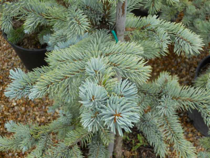 Picea pungens 'Koster' 2