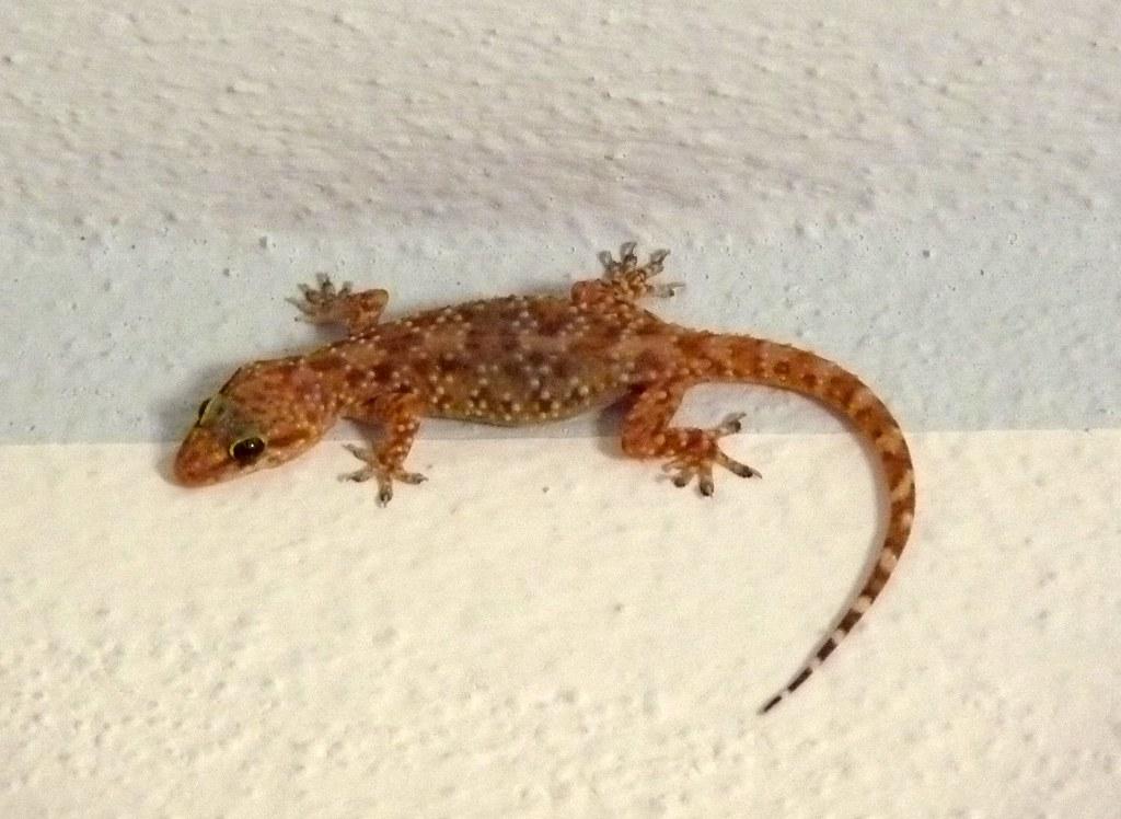 Sardegna Mediterranean House Gecko Geco Verrucoso Flickr