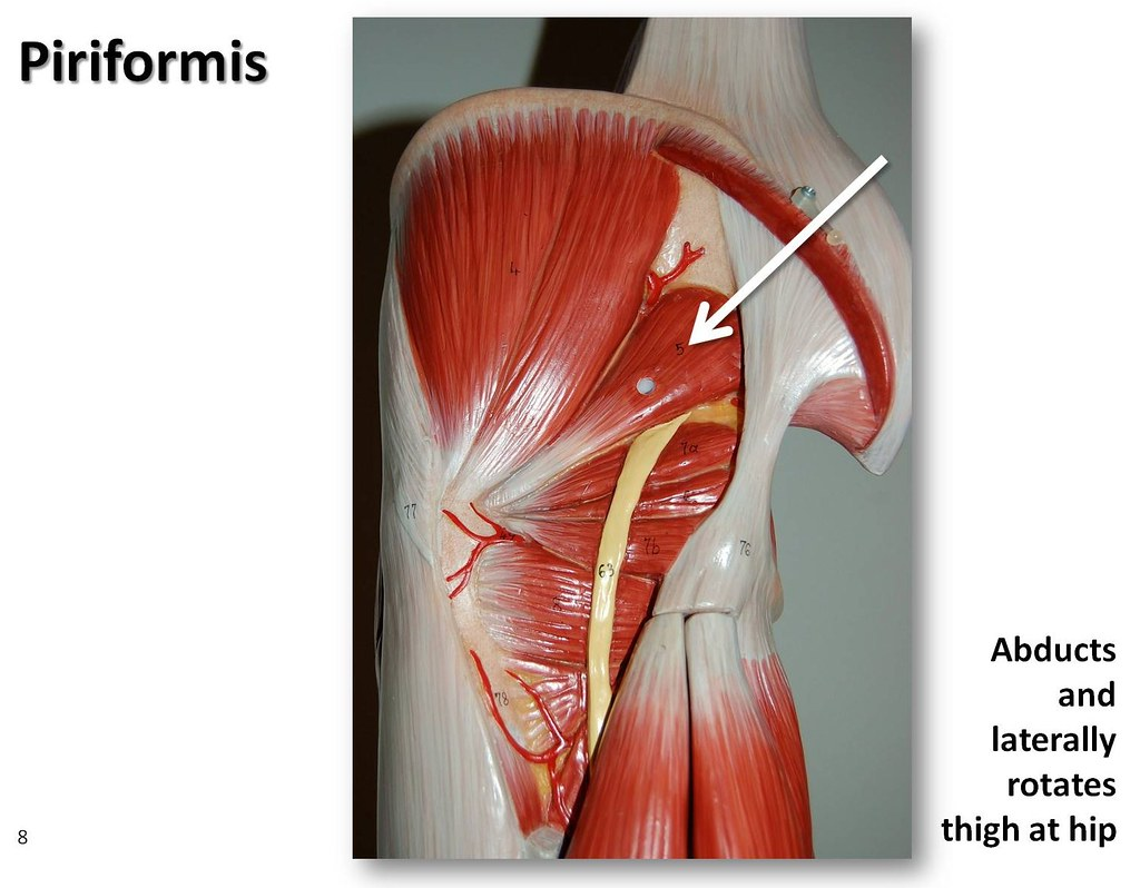 Piriformis - Muscles of the Lower Extremity Anatomy Visual