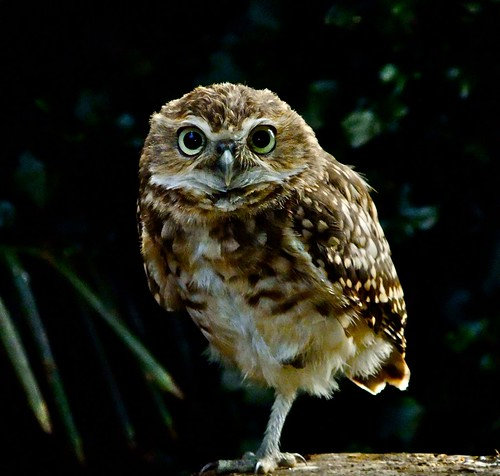 Burrowing Owl | by P. Stubbs photo