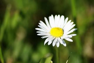 Daisy | by PaulHorner