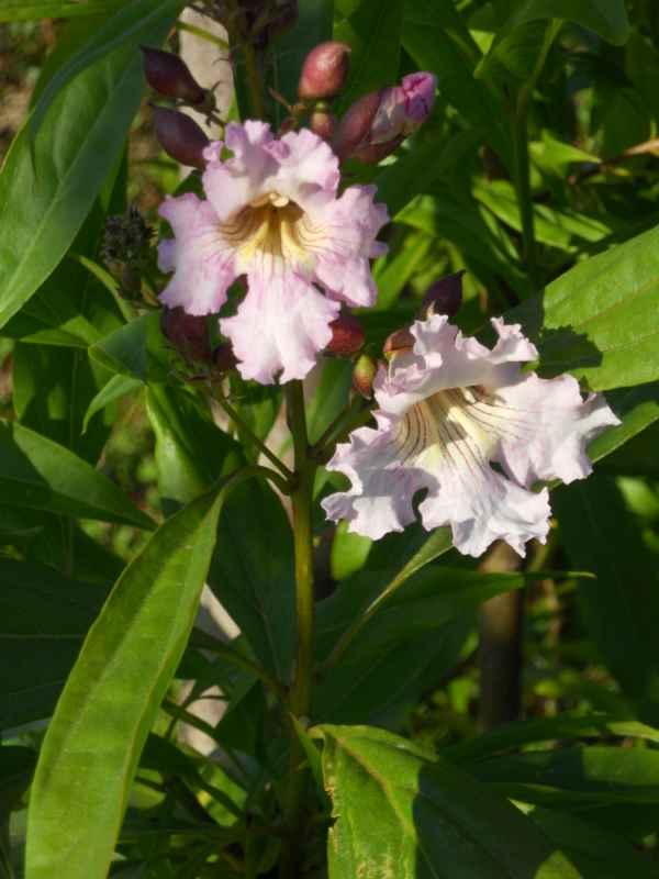 Chitalpa tashkentensis 'Summer Bells' v 1